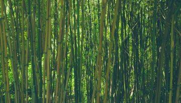 cinsky-bambus